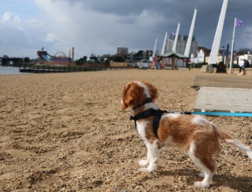 Cavalier king charles spaniel puppy on Southend on Sea beach