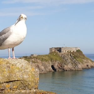 Seagull stood on rock in front of Tenby Castle