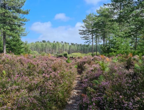 Bushes of purple flowers with tall trees in the distance