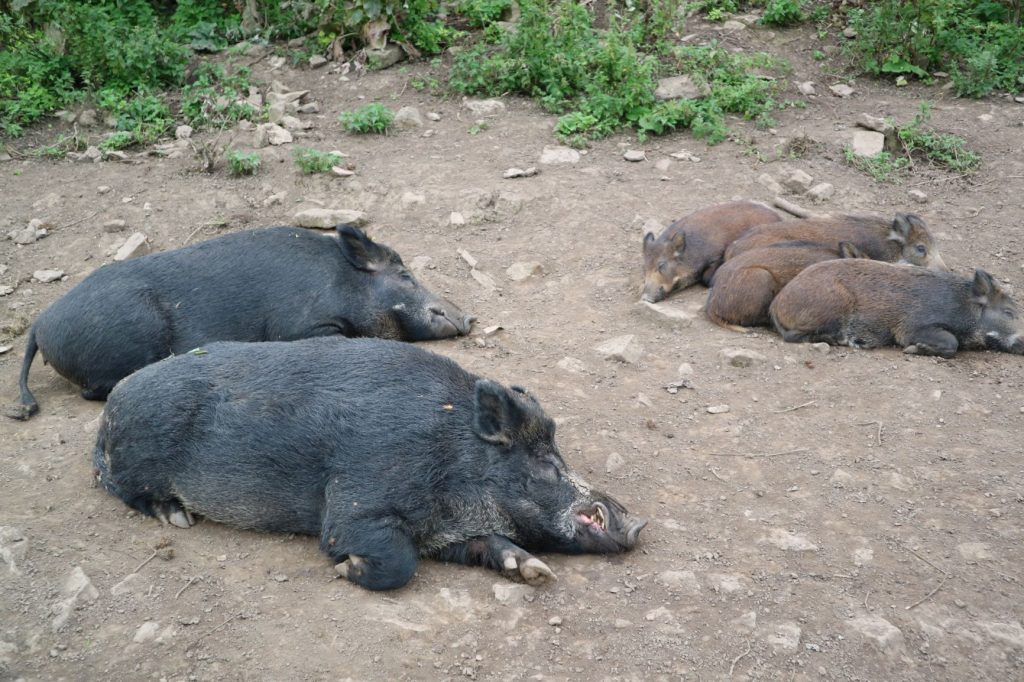 Sleeping wild boar - mother, father, and four piglets